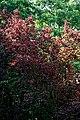 Cherry plum Prunus cerasifera 'Pissardii' at Woods Mill, Sussex Wildlife Trust, England.jpg