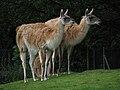 Chester zoo guanacos.jpg