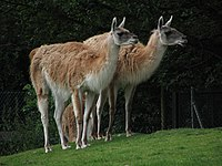 Chester zoo guanacos.jpg