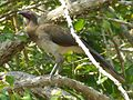 Chestnut-winged Chachalaca.jpg