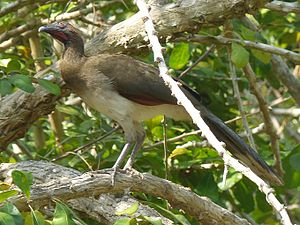 Chestnut-winged chachalaca - Image: Chestnut winged Chachalaca