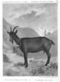 Chevre chamoisee des alpes 1896.png