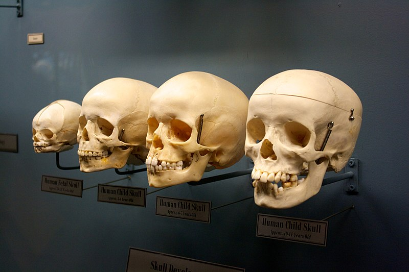 File:Children skulls.jpg