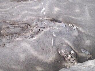 Chinchorro culture - Chinchorro mummies of the type site in Arica, Chile