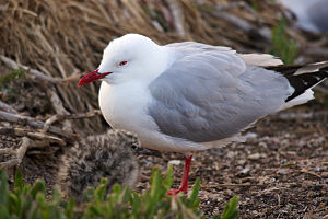Red-billed gull - Image: Chroicocephalus scopulinus LC0381