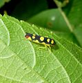Cicadellid leafhopper .Baleja flavoguttata. - Flickr - gailhampshire.jpg