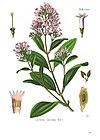 Cinchona calisaya - Köhler–s Medizinal-Pflanzen-179.jpg