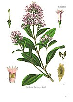 Cinchona, the plant quinine was derived from