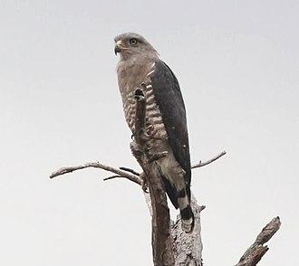 Southern banded snake eagle - Image: Circaetus fasciolatus, Chiboma, Sofala, Birding Weto, a