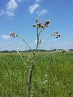 Cirsium brachycephalum sl7.jpg
