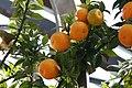 Citrus aurantium var. myrtifolia Chinotto 2zz.jpg