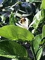 Citrus e apis mellifera.jpg