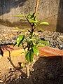 Citrus japonica (2).jpg