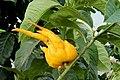 Citrus medica BuddasHand pm.JPG