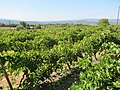 Claudie Malbec Vineyard - panoramio.jpg