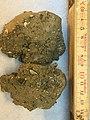 Clay till with bryozoans.jpg