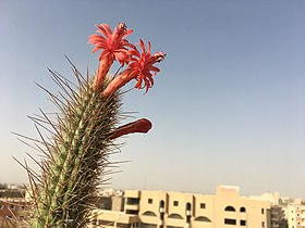 Cleistocactus at Obour By Hatem Moushir 1.jpg