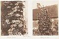 Clematis Cerulea; Hollyhocks MET DP143528.jpg