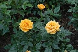 Clementine (Tantau 1997)