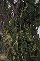 Climbing philodendron. Nassau .Bahamas (27093586639).jpg