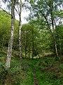 Climbing through the birch wood, near Chesterton, Shropshire - geograph.org.uk - 1307073.jpg