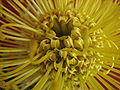 Close detail view of unidentified yellow protea.jpg