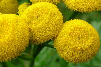 Tansy - Tansy flower: detail.