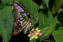 Close wing position of Graphium agamemnon Linnaeus, 1758 – Tailed Jay DSC 3328 copy.jpg