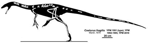 Coelurus
