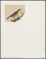 Coereba caerulea - 1833-1839 - Print - Iconographia Zoologica - Special Collections University of Amsterdam - UBA01 IZ19000361.tif