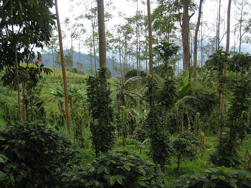 File:Coffee farm in Colombia.jpg