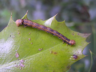 Feathered thorn - Caterpillar