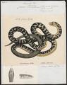 Coluber atrovirens - 1700-1880 - Print - Iconographia Zoologica - Special Collections University of Amsterdam - UBA01 IZ12100167.tif