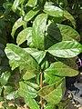 Combretum constrictum - Powderpuff Combretum 2014 (22).jpg