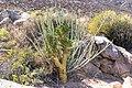 Commiphora pyracanthoides ^ Euphorbia dregeana-0775 - Flickr - Ragnhild & Neil Crawford.jpg