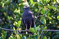 Common Black Hawk (Buteogallus anthracinus) (8079369424).jpg