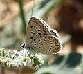 Common Blue Polyommatus icarus male (32679386011).jpg