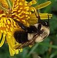 Common Eastern Bumblebee (24813601576).jpg