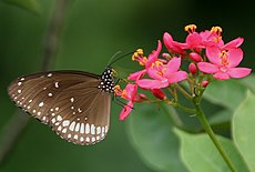Common Indian Crow (Euploea core) on Jatropha panduraefolia in Kolkata Iws IMG 0227.jpg