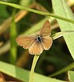 Common Lineblue Male UP Prosotas nora by Dr. Raju Kasambe DSCN0400 (1).jpg