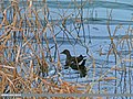 Common Moorhen (Gallinula chloropus) (24424715374).jpg