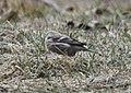 Common Redpoll, Sand Lake, MI, Feb 7, 2012 (6836121233).jpg