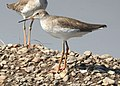 Common Redshank Tringa totanus by Dr. Raju Kasambe DSCN9356 (11).jpg