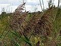 Common Reed (Phragmites australis) (8131458951).jpg