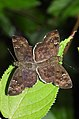 Common Small Flat Sarangesa dasahara mating by Dr. Raju Kasambe DSCN8689 (24).jpg