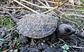 Common Snapping Turtle Hatchling (21660526291).jpg