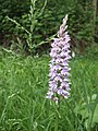 Common Spotted Orchid (Dactylorhiza fuchsii) - geograph.org.uk - 461027.jpg