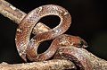 Common Wolf Snake Lycodon aulicus by Dr. Raju Kasambe DSCN7762 (27).jpg