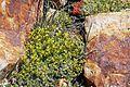 Common pepperweed (Lepidium densiflorum).jpg
