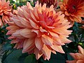 Concours International du Dahlia 2012 Parc Floral Paris 8.JPG